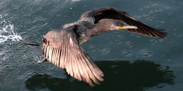 A cormorant flies in the lock of Saint-Malo, western France, on November 1, 2014. AFP PHOTO / DAMIEN MEYER        (Photo cred