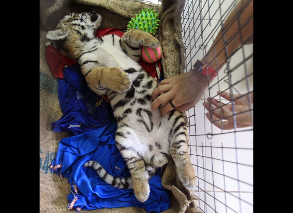 Thai veterinarian Phimchanok Srongmongkul plays with tiger  cub at the Wildlife Health Unit at the Department of National Par