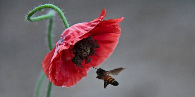 Honey Bee visiting Flower