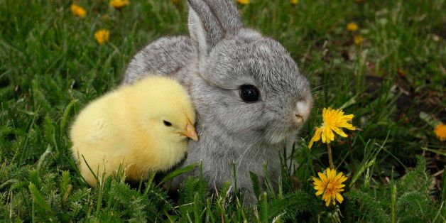 This is a beautiful gray rabbit bunny and yellow chick.