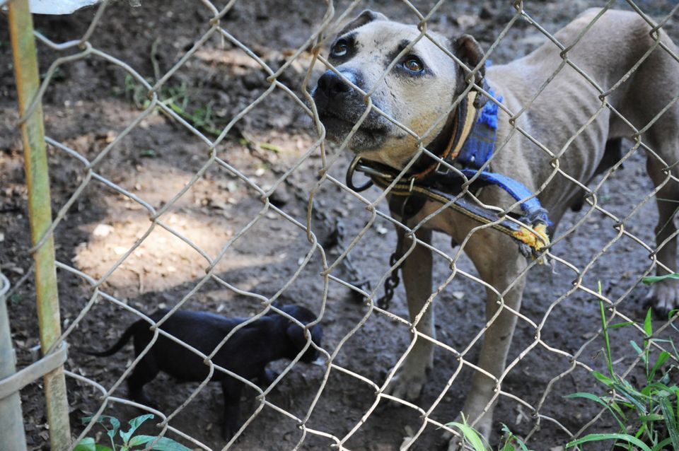 "These photos are from a 2013 4-state dog fighting bust. It resulted in <a href=""http://www.humanesociety.org/news/press_relea"