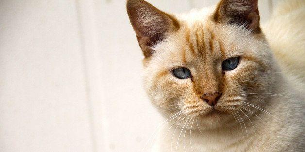 """My mothers cat that has skew eyes.  Follow me on twitter: <a href=""""https://twitter.com/martie1swart"""" rel=""""nofollow"""">twitter"""