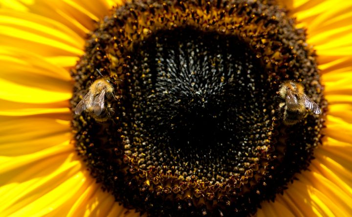 Two bees collect pollen from a sunflower on August 19, 2012 in Berlin. Temperatures in the German capital reached 34 degrees