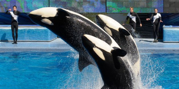 In a  March 7, 2011 photo, trainers Joe Sanchez, left, Brian Faulkner and Kelly Aldrich, right, work with killer whales Trua,
