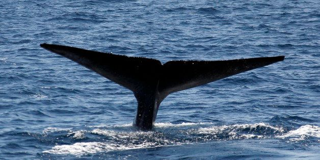 On the clear warm sunny day in Southern California  a Blue whale dives and shows it's fluke in front of   the Sea Breeze Crui
