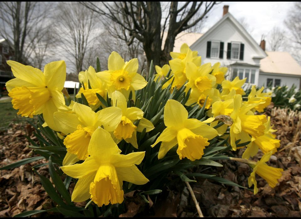 "If you want little shoots of green peeking up through the snow in the spring, you'll want to <a href=""http://www.oldhouseweb."
