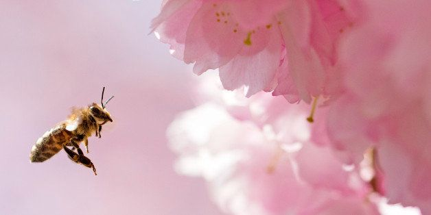 A bee approaches a blooming almond tree in Erfurt, central Germany, Wednesday, April 15, 2015. The weather forecast predicts