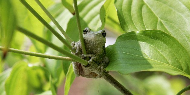 OWINGS, MD - JUNE 8:  A tree frog sits on a branch June 8, 2005 in Owings, Maryland. The state of Maryland is home to several