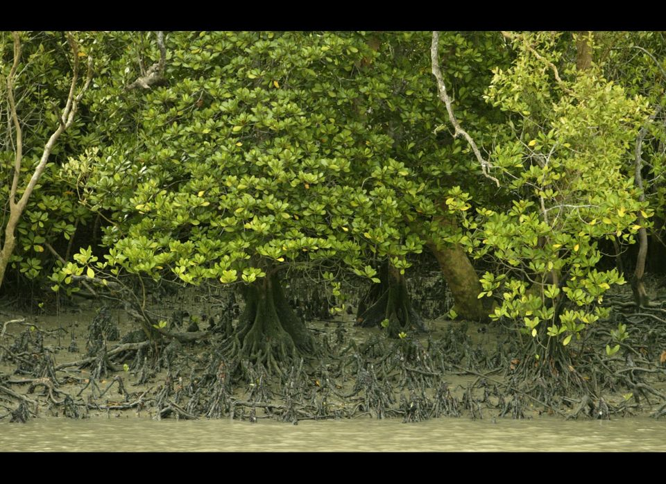 "<a href=""http://ngm.nationalgeographic.com/2007/02/mangroves/warne-text/2"" target=""_hplink"">Mangroves</a>, those forests that"