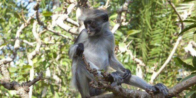 This Oct. 13, 2010 photo shows a young rare Zanzibar red colobus monkey sitting on a tree branch in the East African archipel