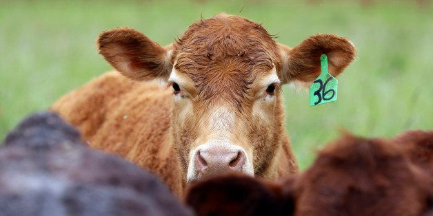 Cattle that are grass-fed, antibiotic and growth hormone free gather at Kookoolan Farm in Yamhill, Ore., Thursday, April 23,