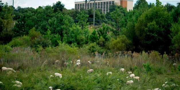 Some 100 goat and sheep graze a one-acre plot of land owned by Hartsfield-Jackson Atlanta International Airport Friday, Sept.