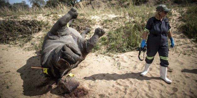 The carcass of a poached and mutilated white rhino lies on the banks of a river as a South African Police...