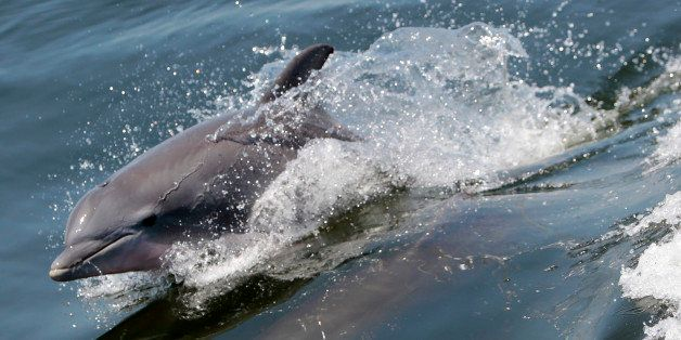 Dolphins swim near a boat carrying the Florida governor on a tour of oil skimming efforts in Pensacola Bay in Pensacola, Fla.