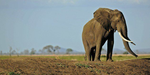 (FILES) A picture taken on October 14, 2013 shows an elephant in Mikumi National Park, which borders the Selous Game Reserve,