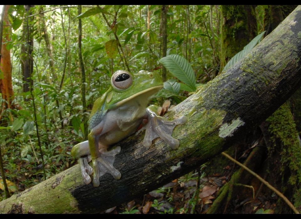 Potentially New species of frog discovered in Papua New Guinea (DNA analysis pending) Litoria sp. nov. Living 30 meters abov