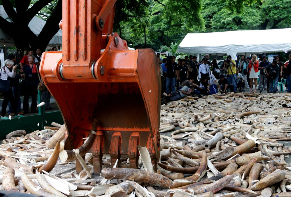 A backhoe is used to crush seized elephant tusks during a destruction ceremony at the Protected Areas and Wildlife Bureau of