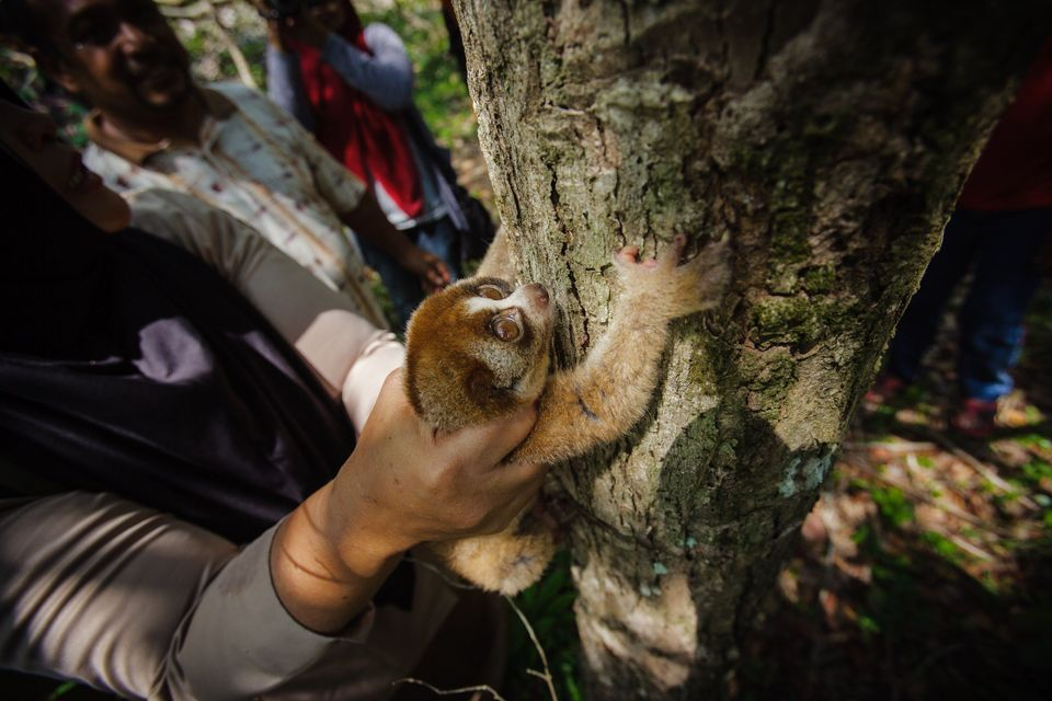An Indonesia Nature Conservation Agency (BKSDA) official releases a Sunda slow loris (Nycticebus coucang) or greater slow lor
