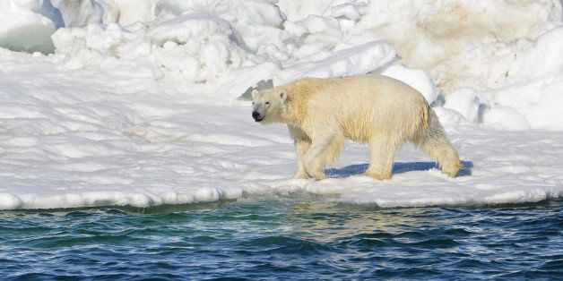 In this June 15, 2014 photo, a polar bear dries off after taking a swim in the Chukchi Sea in Alaska. A paper published Wedne