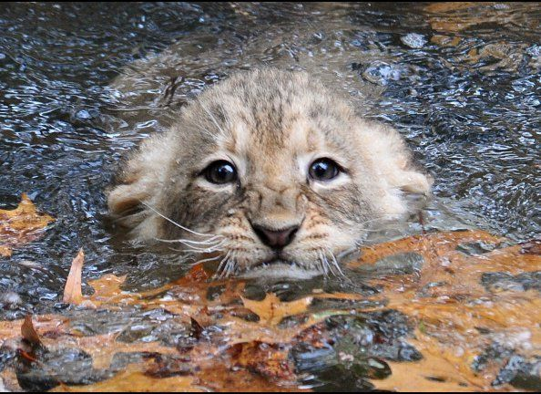 A young lion cub tries to swim in the moat surrounding the lion habitat at the Smithsonian Institution's National Zoo on Octo