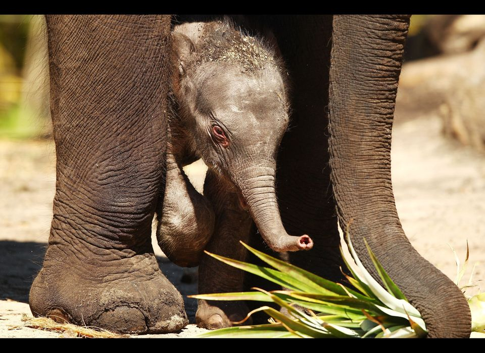 SYDNEY, AUSTRALIA - NOVEMBER 03: Taronga's first female elephant calf explores the paddock with her mother Pak Boon at Tarong