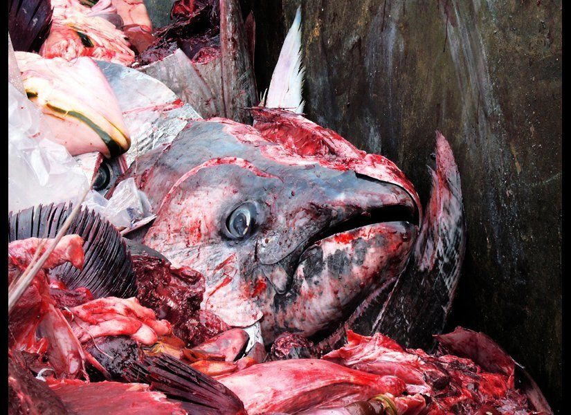 The head of a tuna is discarded in Malta, after cutting prized flesh from the crown of the head and behind the eyes. Source: