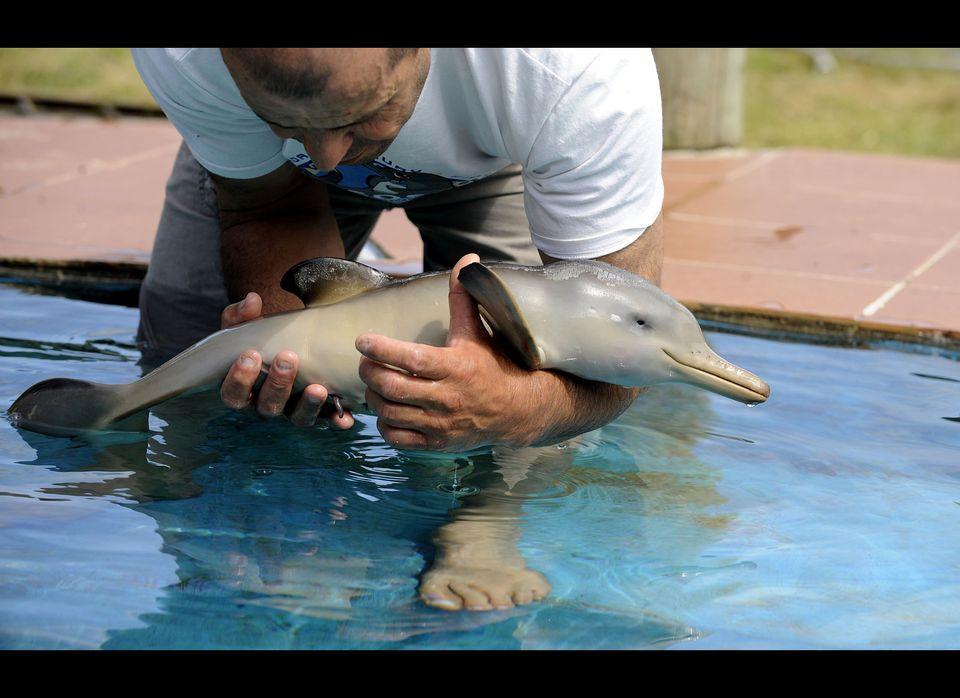 Richard Tesore, Director of the marine fauna reserve 'SOS Fauna Marina' holds a baby dolphin in a pool in Punta Colorada, dep