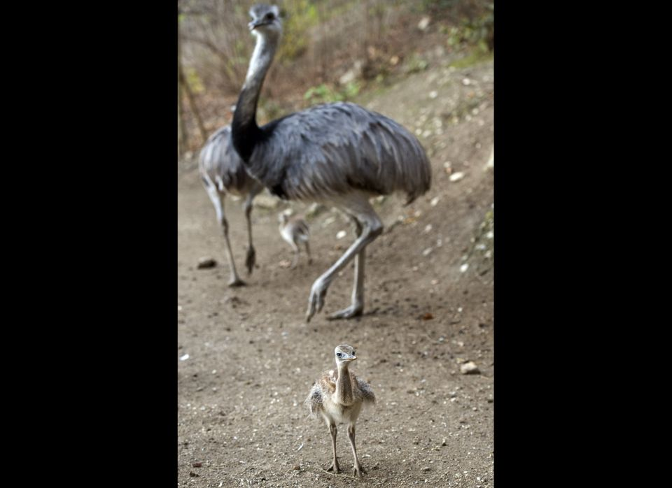 A two month old rhea makes its way in the Zoo of Salzburg, Austria, on Thursday, Nov. 18, 2010. The weather fore cast predict