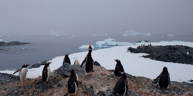In this Jan. 22, 2015 photo, gentoo penguins stand on a rock near station Bernardo O'Higgins, Antarctica. The melting of Anta