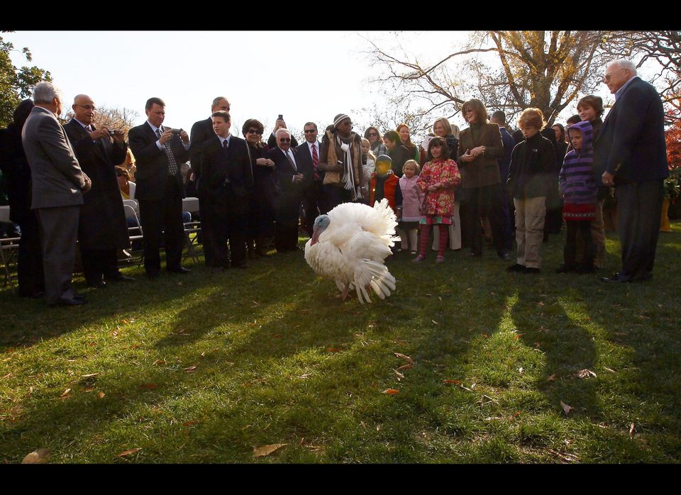WASHINGTON - NOVEMBER 24: The National Thanksgiving Turkey, named Apple, participates in a ceremony where it was pardoned by