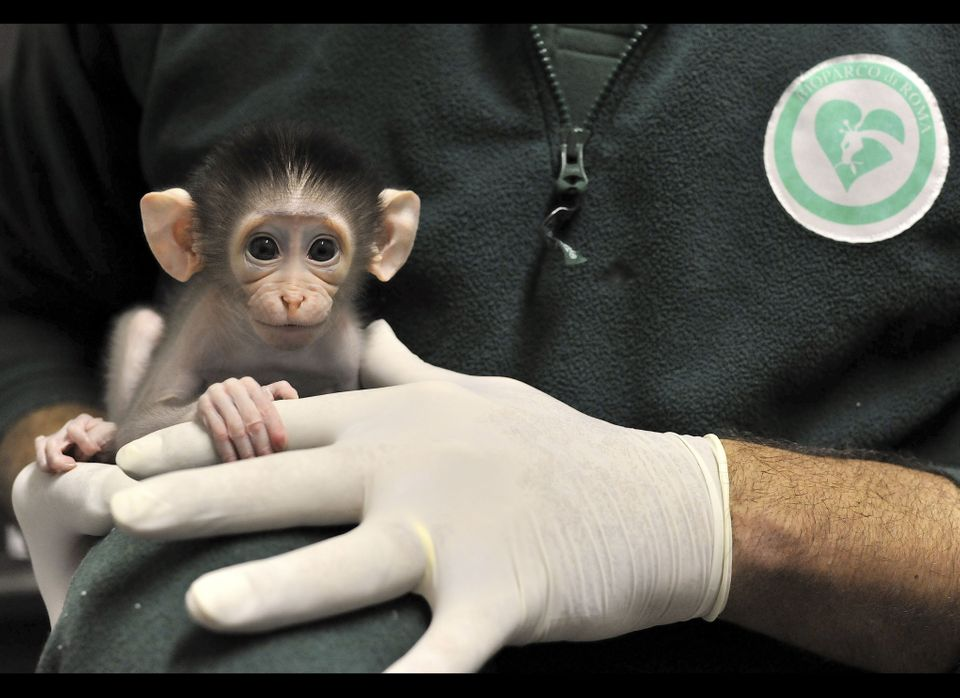 This photo provided Thursday, Nov. 25, 2010 by the Bioparco Zoo of Rome shows a baby white-naped mangabey monkey (Cercocebus