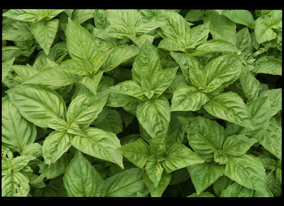 Start basil from seeds and place the pots in a south-facing window—it likes lots of sun and warmth.