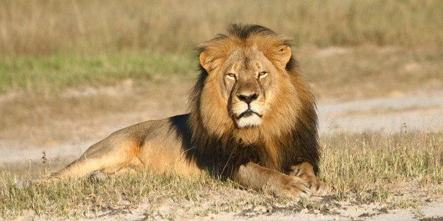 In this undated photo provided by the Wildlife Conservation Research Unit, Cecil the lion rests in Hwange National Park, in H