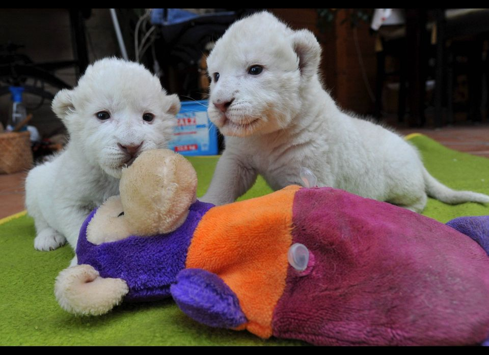 White lion babies Niza (L) and Nero play with a stuffed animal on December 15, 2010 in Hodenhagen, northwestern Germany. The