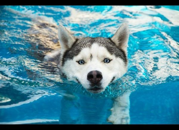 "<a href=""http://www.akc.org/dog-breeds/siberian-husky/"" target=""_hplink"">Siberian Huskies</a> are like the marathon runners o"