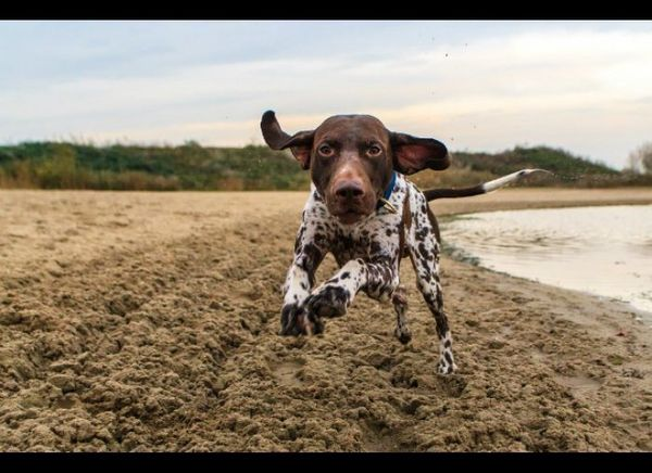 Do you ever start to feel antsy and irritable if you don't get your workout in for the  day? The German Shorthaired Pointer f