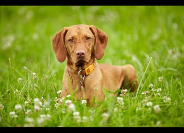 "The <a href=""http://www.akc.org/dog-breeds/vizsla/"" target=""_hplink"">Vizsla</a> is known for its power and drive. Also origin"
