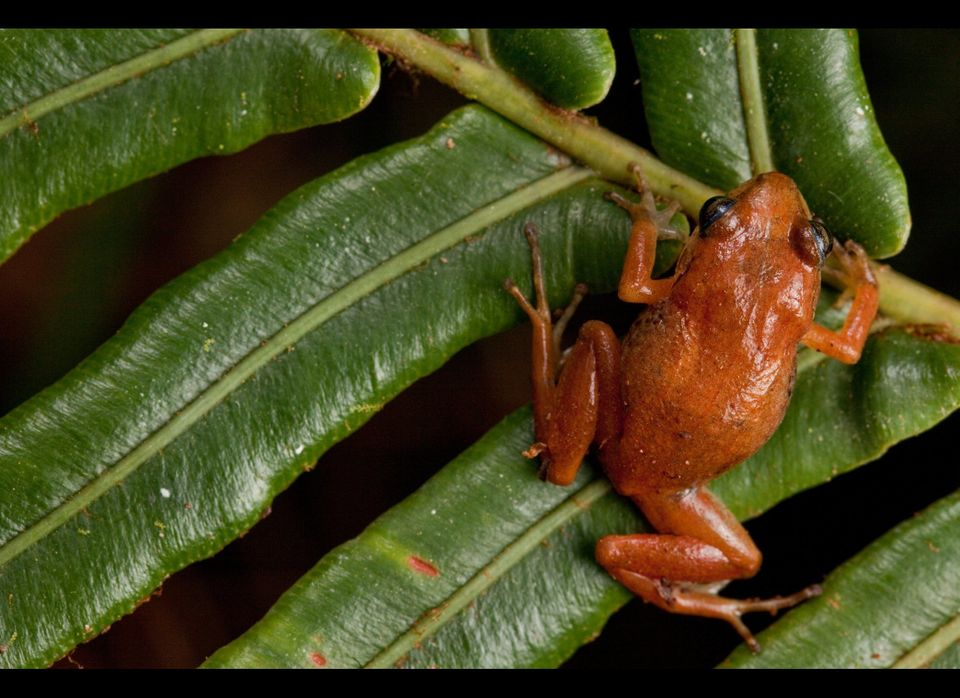 REDISCOVERED: Macaya Breast-spot Frog, Eleutherodactylus thorectes, a Critically Endangered species in the Massif de la Hotte