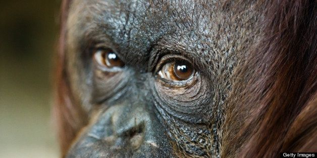 close up headshot of female orangutan. Focus on the eyes