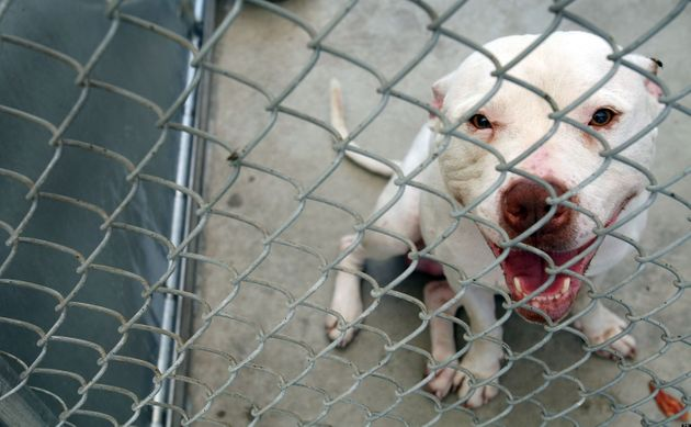 Pit Bull Ban Proposed In Texas Justin