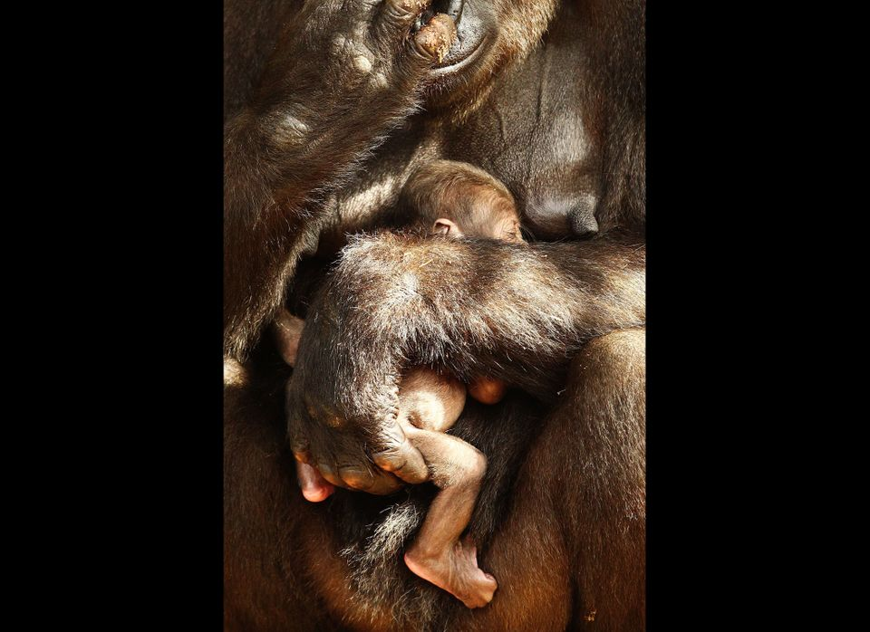 SYDNEY, AUSTRALIA - JANUARY 25:  Baby 'Kipenzi' sits in her mother 'Kriba's' arms at the Taronga Zoo on January 25, 2011 in S