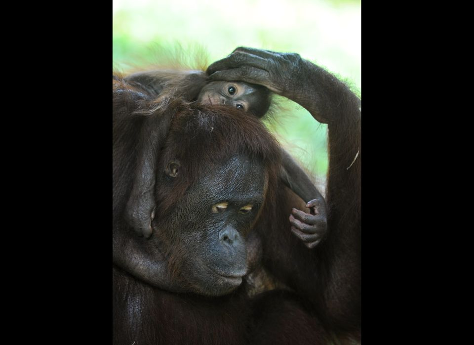 A baby orangutan clings to her mother at an enclosure in Ragunan zoo in Jakarta on January 27, 2011. Orangutans are far more