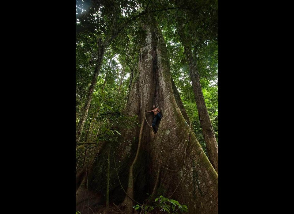 Kapok tree. (Ceiba pentandra). Rewa River. Rainforest. GUYANA. South America