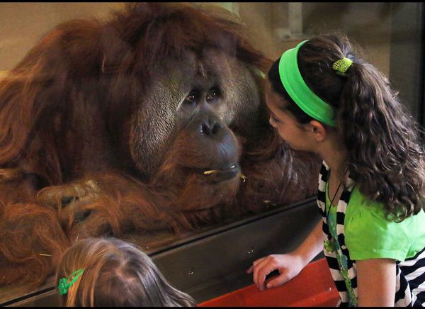 """""""Azy"""" with your girl admirer.  Photo: Courtesy of Indianapolis Zoo"""