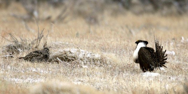 This April 2011 photo provided by Colorado Parks and Wildlife shows a male and female Gunnison sage grouse near Gunnison, Col