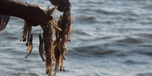 A fisherman holds shrimp pulled out of a net in the waters near Dautillos, Mexico, on Wednesday, Sept. 30, 2015. A summer ban
