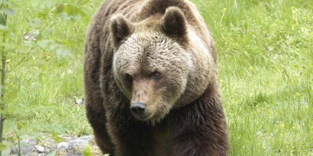 Brown bear, Munich, Bavaria, Germany