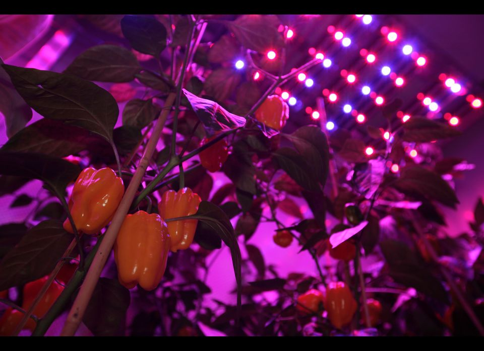 Yellow peppers are seen under blue and red Light Emitting Diode (LED) lights at PlantLab, a private research facility, in Den