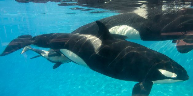 SAN DIEGO, CA - DECEMBER 02:  In this handout photo provided by SeaWorld San Diego, a baby killer whale calf nurses from its