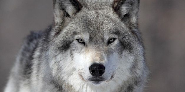 Closeup of a Grey Wolf in Parc Omega, Quebec.